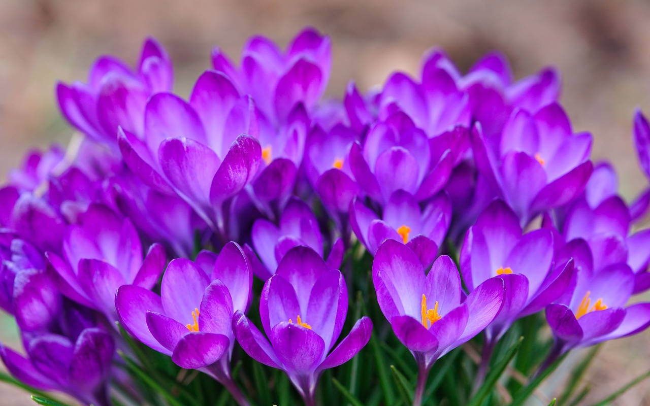 Растение-медонос шафран (крокус)