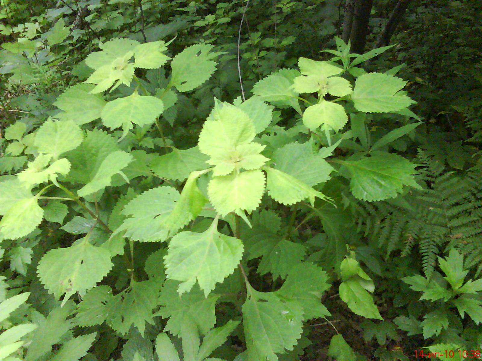 Растение-медонос шпороцветник