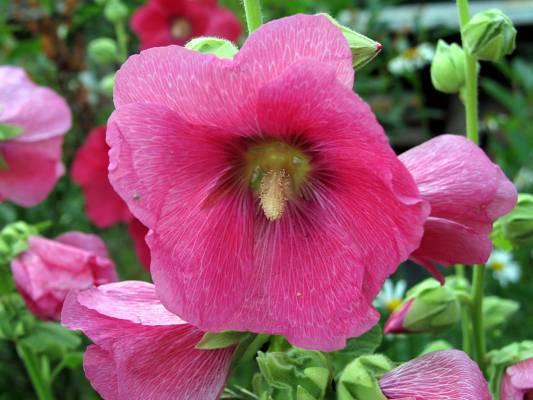 Растение-медонос штокроза розовая (мальва)