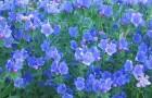Растение-медонос синяк