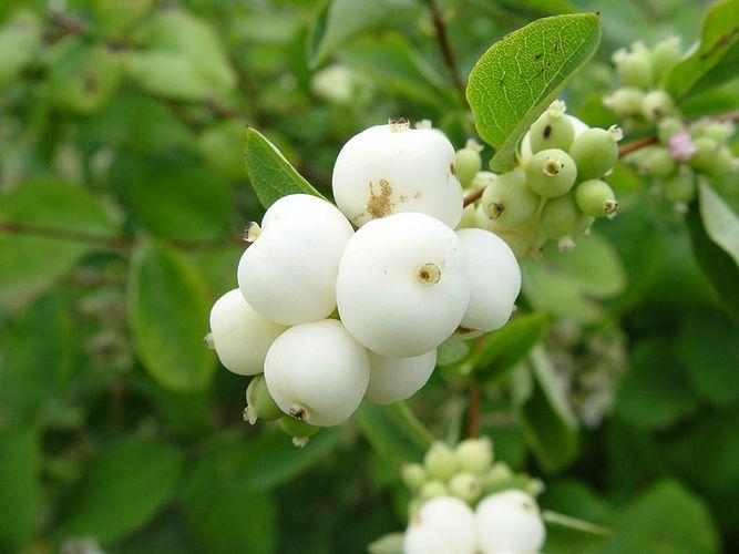 Растение-медонос снежноягодник белый