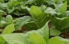 Растение-медонос табак