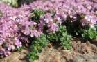 Растение-медонос тимьян