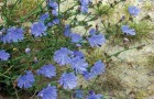 Растение-медонос цикорий обыкновенный