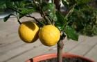 Растение-медонос цитрус