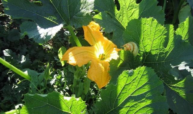 Растение-медонос тыква твердокорая (тыква обыкновенная)