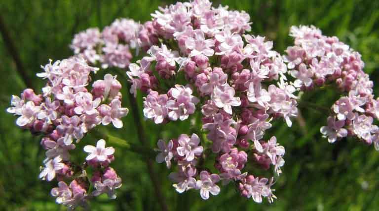 Растение-медонос валериана лекарственная