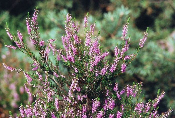 Растение-медонос вереск обыкновенный