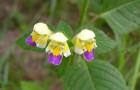 Растение-медонос жабрей (пикульник красивый)
