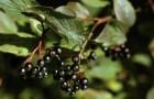 Растение-медонос жестер (жостер)
