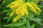 Растение-медонос золотарник обыкновенный (золотая розга)