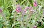 Растение-медонос зубчатка