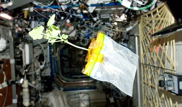 Размножение растений в невесомости поможет космонавтике