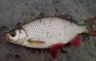 Рыболовная снасть для ловли красноперки
