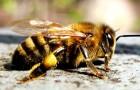 Серая горная кавказская пчела