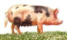 Северокавказская порода