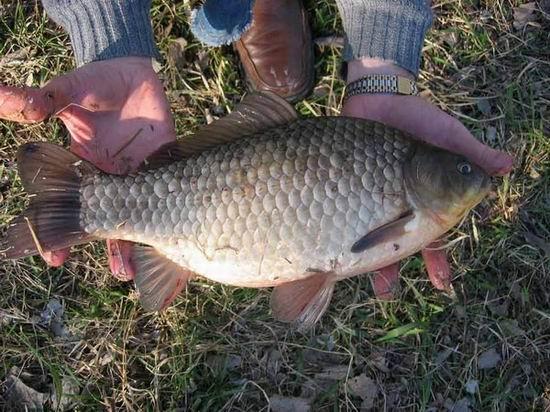 Снасти для ловли карася: без грузила и поплавка