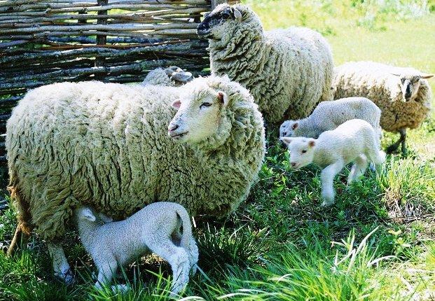 Содержание овец коз