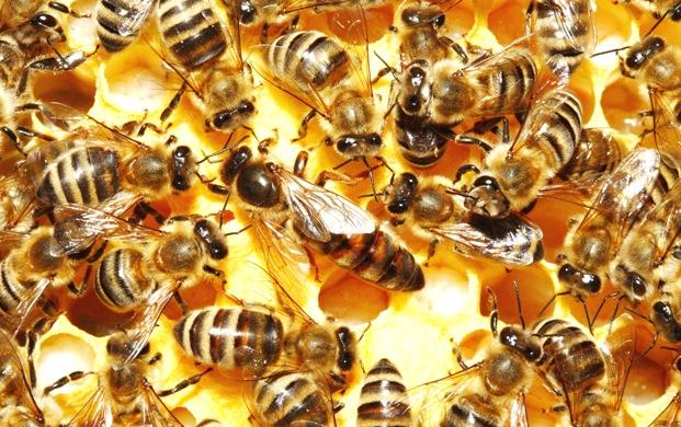 Состав пчелиной семьи