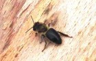Среднерусская (европейская) лесная пчела