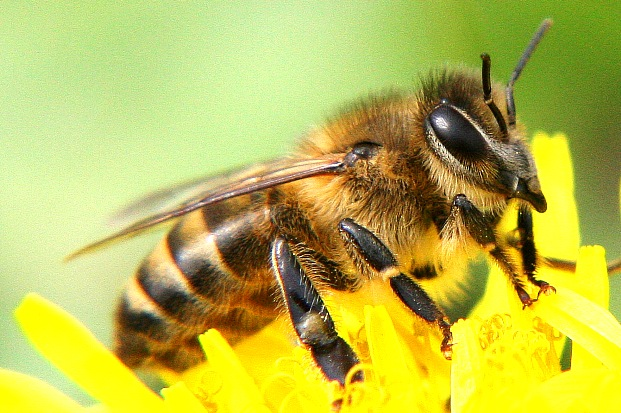 изображение пчелы: