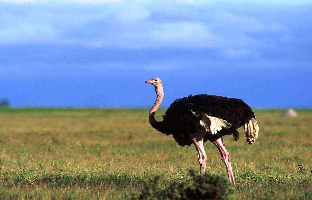 Уход за страусами