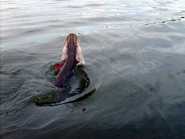 Важные детали поролоновой рыбки для ловли щуки