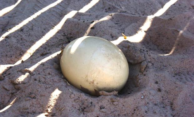Яйцекладка и сбор страусиных яиц
