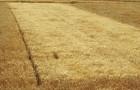 Сорт ячменя ярового: Атаман