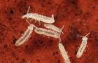 Болезнь рассады — ногохвостки
