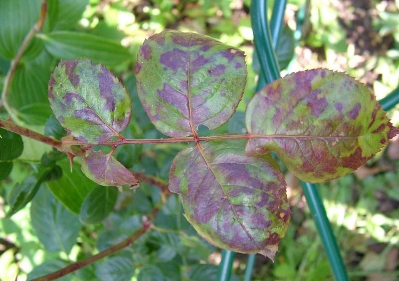 Болезнь роз — бурая пятнистость