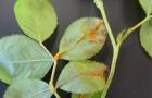 Болезнь роз — инфекционный «ожог» стеблей