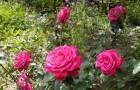 Болезнь роз — песталоция обугленная