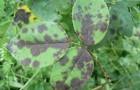 Болезнь роз — пурпуровая пятнистость