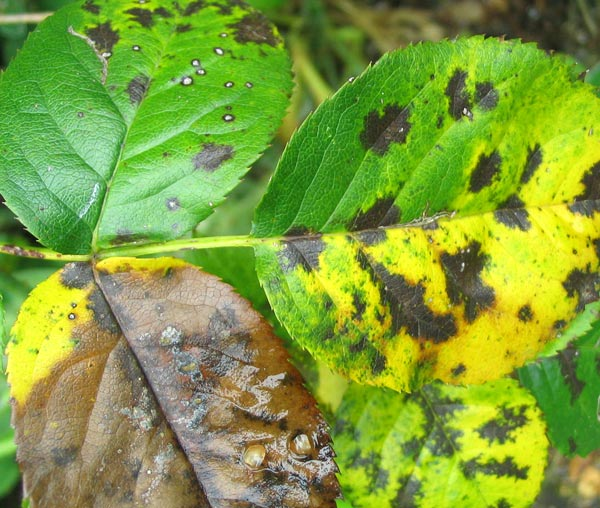 Болезнь роз — септориоз листьев