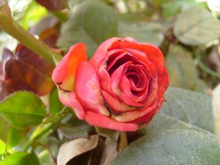 Болезнь роз  — серая гниль
