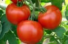 Сорт томата: Чапай