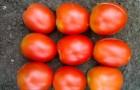 Сорт томата: Чародей