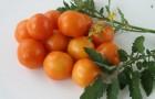 Сорт томата: Чаровница