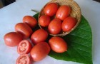 Сорт томата: Челнок