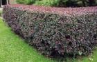 Черенкование растений для живой изгороди