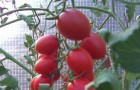 Сорт томата: Черриира f1