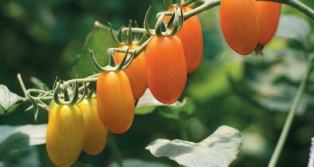 Сорт томата: Черрикира   f1