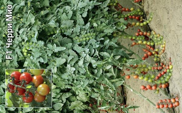 Сорт томата: Черримио   f1