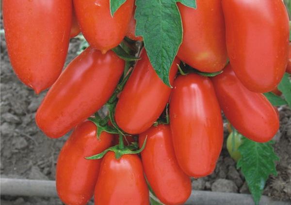 Сорт томата: Чибис