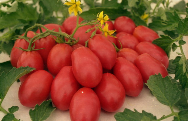 Сорт томата: Чио-чио-сан
