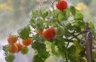 Сорт томата: Чудо гроздь f1