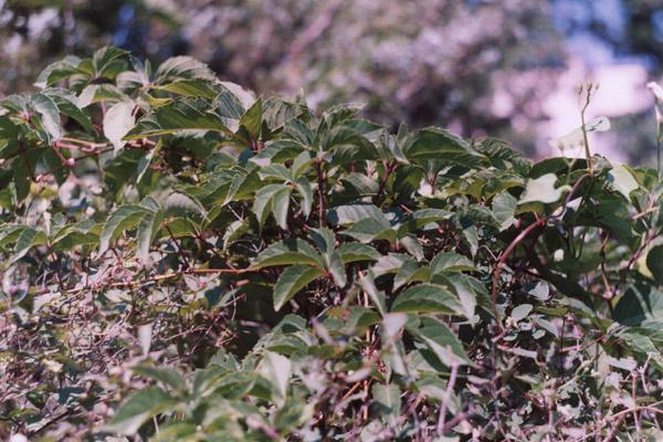 Девичий виноград пятилисточковый, пареноциссус