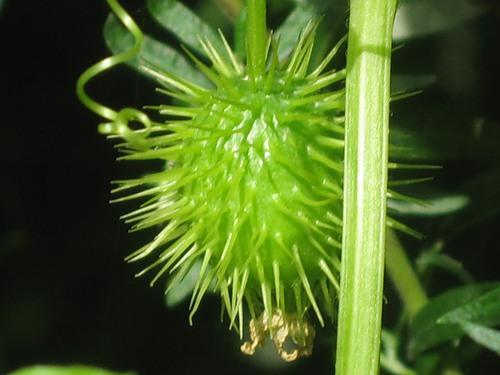 Эхиноцистис, колючеплодник лопастный