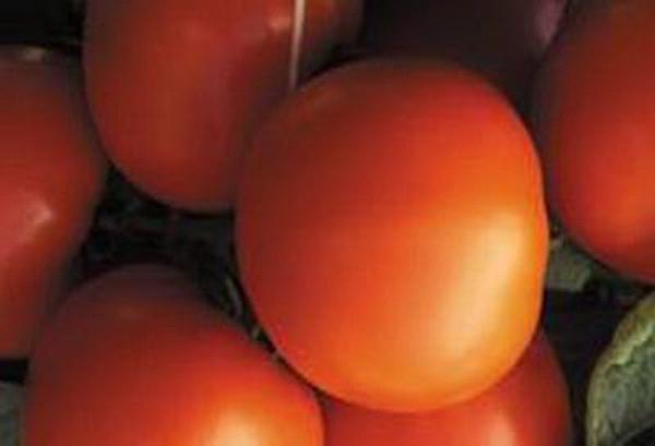 Сорт томата: Экватор   f1
